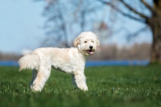 Goldendoodles among the top 20 most popular breeds
